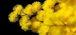 08/03/2019 San Giorgio di Piano - Camminata della mimosa. in occasione della Giornata internazionale della donna
