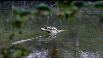 Le tartarughe del laghetto di Villa Smeraldi