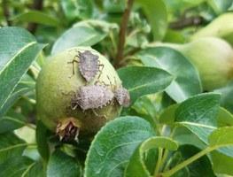 Danni da cimice asiatica: per gli agricoltori dell'Emilia-Romagna sono in arrivo oltre 63 milioni